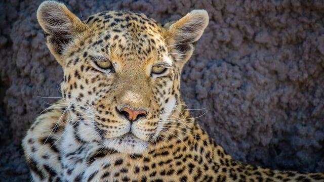 4K Wildlife in Africa - Leopards & Cheetahs