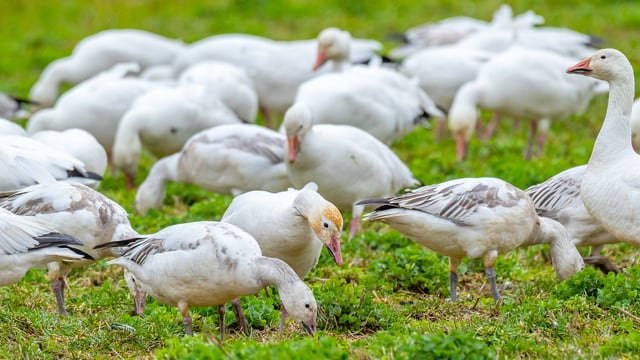 Snow Geese at WA