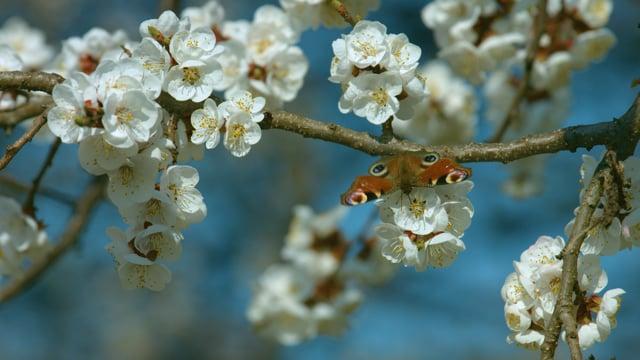 Apple Tree Blossom 4K