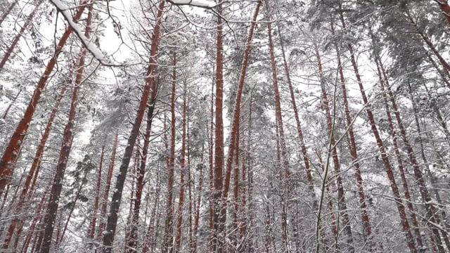 Winter forest in Ukraine