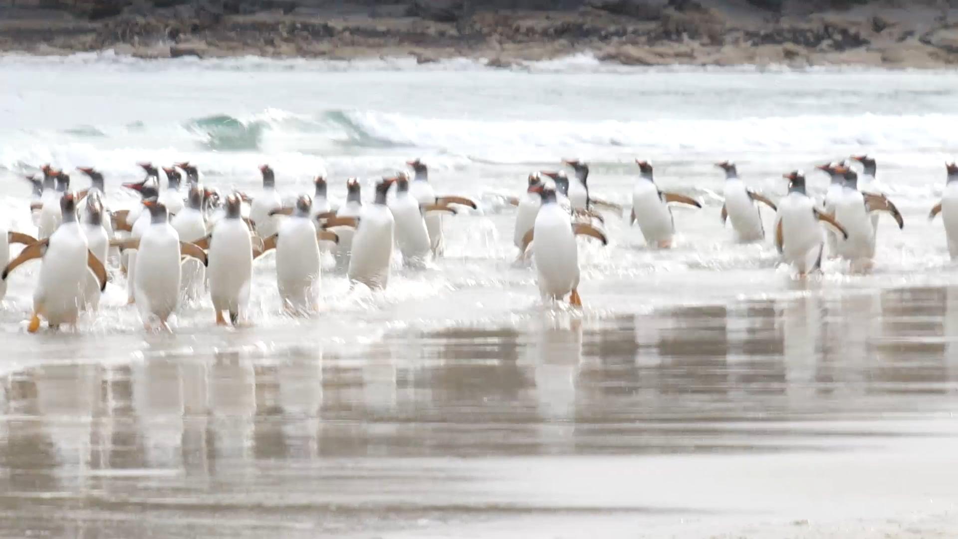 Grave Cove Penguins