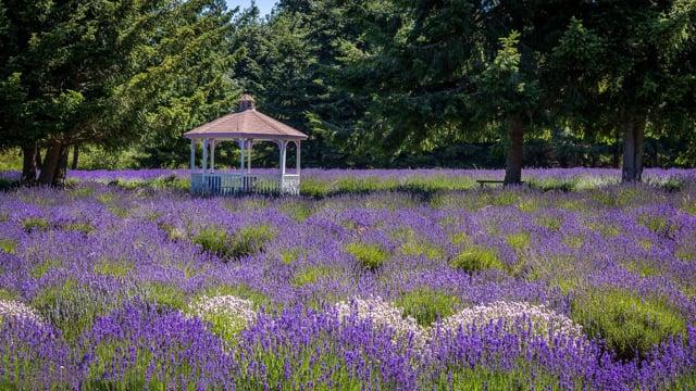 Martha Lane Lavender Farm. Sequim, Washington State