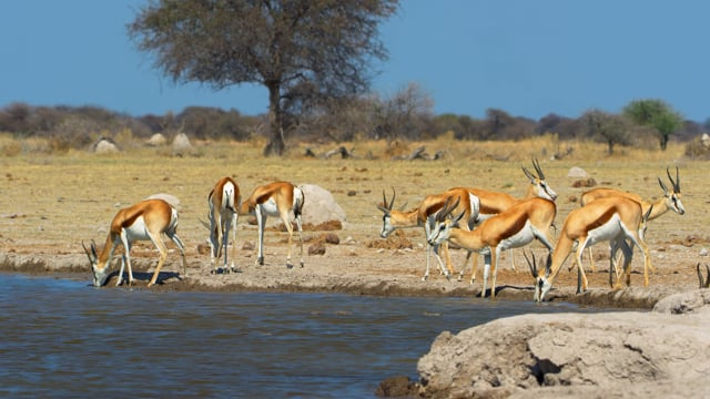 African Wildlife: Springboks. Part 1