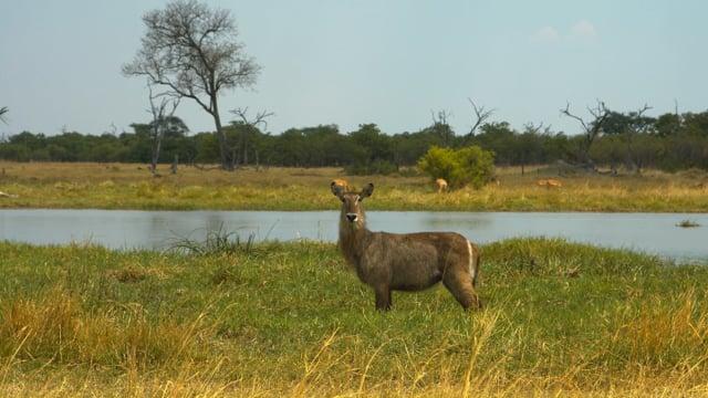 African Wildlife: Springboks. Part 2