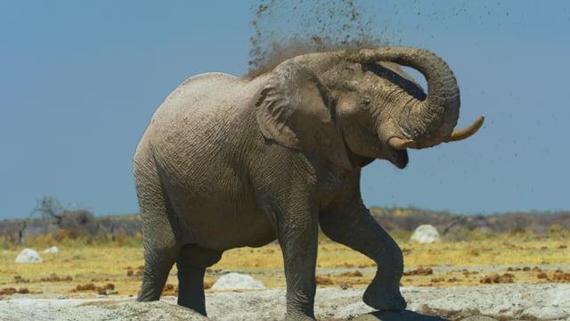 African Wildlife: Elephants. Part 2