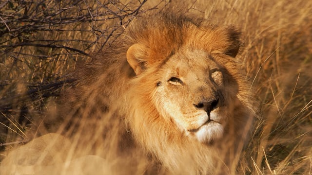 Lions - African Wildlife