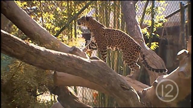 Reid Park Zoo Welcomes Jaguar