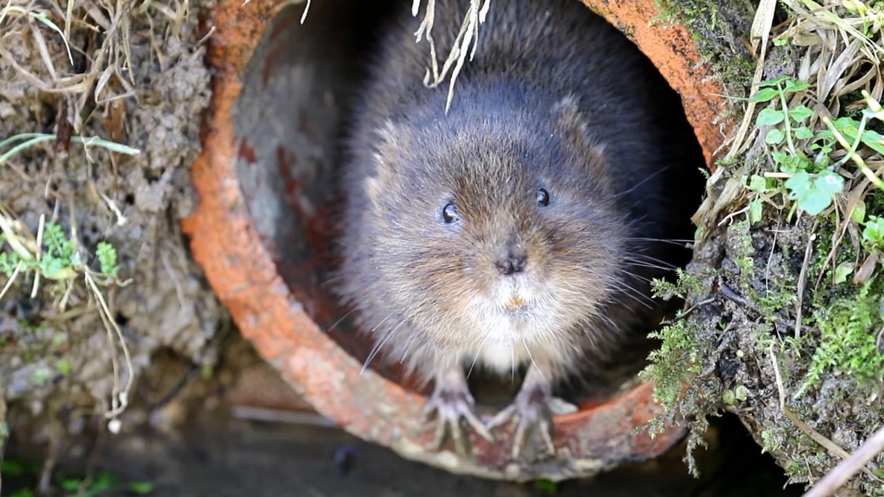 25 Genome Project - The Water Vole