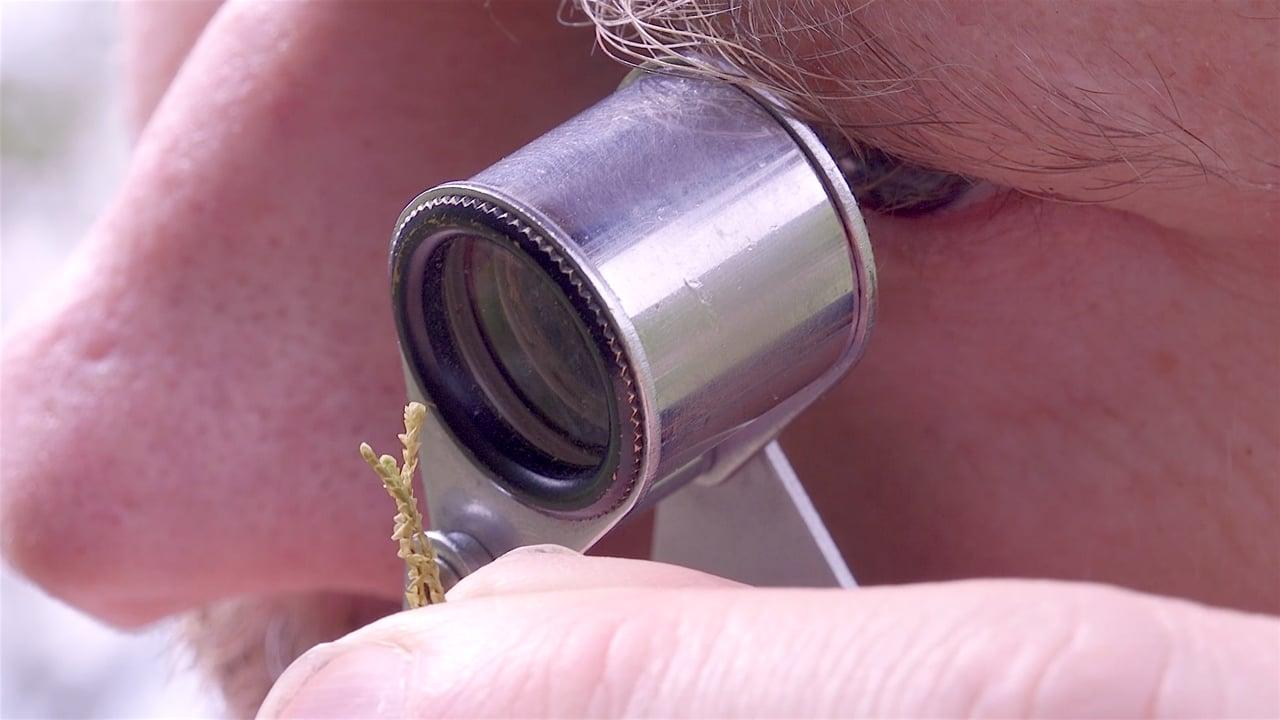 25 Genome Project - Carrington's Featherwort