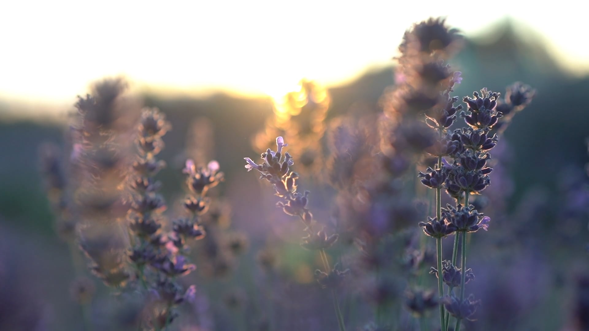 Long Dog Lavender Farm