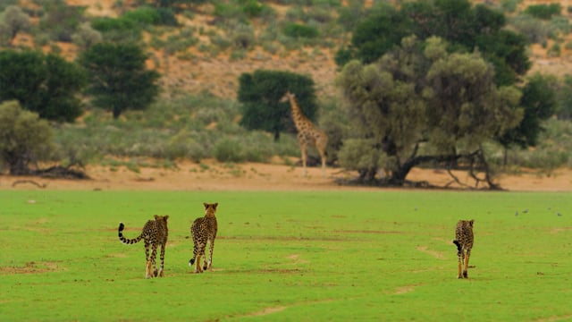 4K HDR African Wildlife - Kgalagadi Transfrontier Park, South Africa - Short Preview