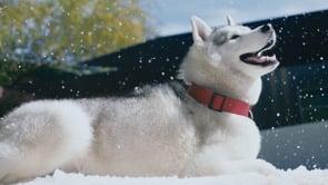 Dingo – Meet Juno