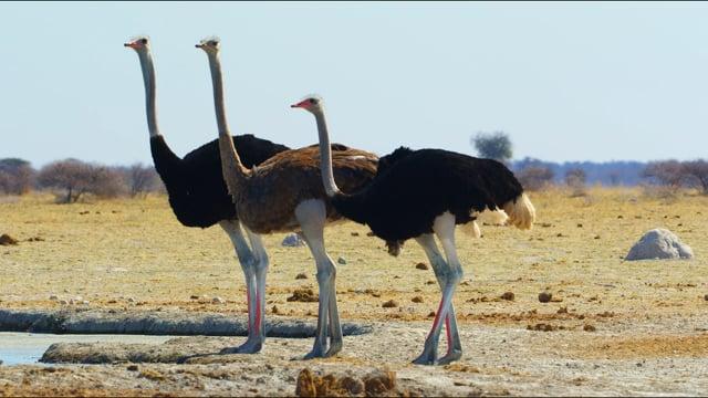 Ostrich-The Flightless Bird - Wildlife Video