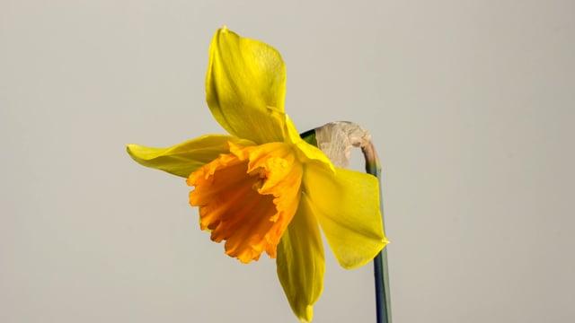 easter bell, daffodil, easter
