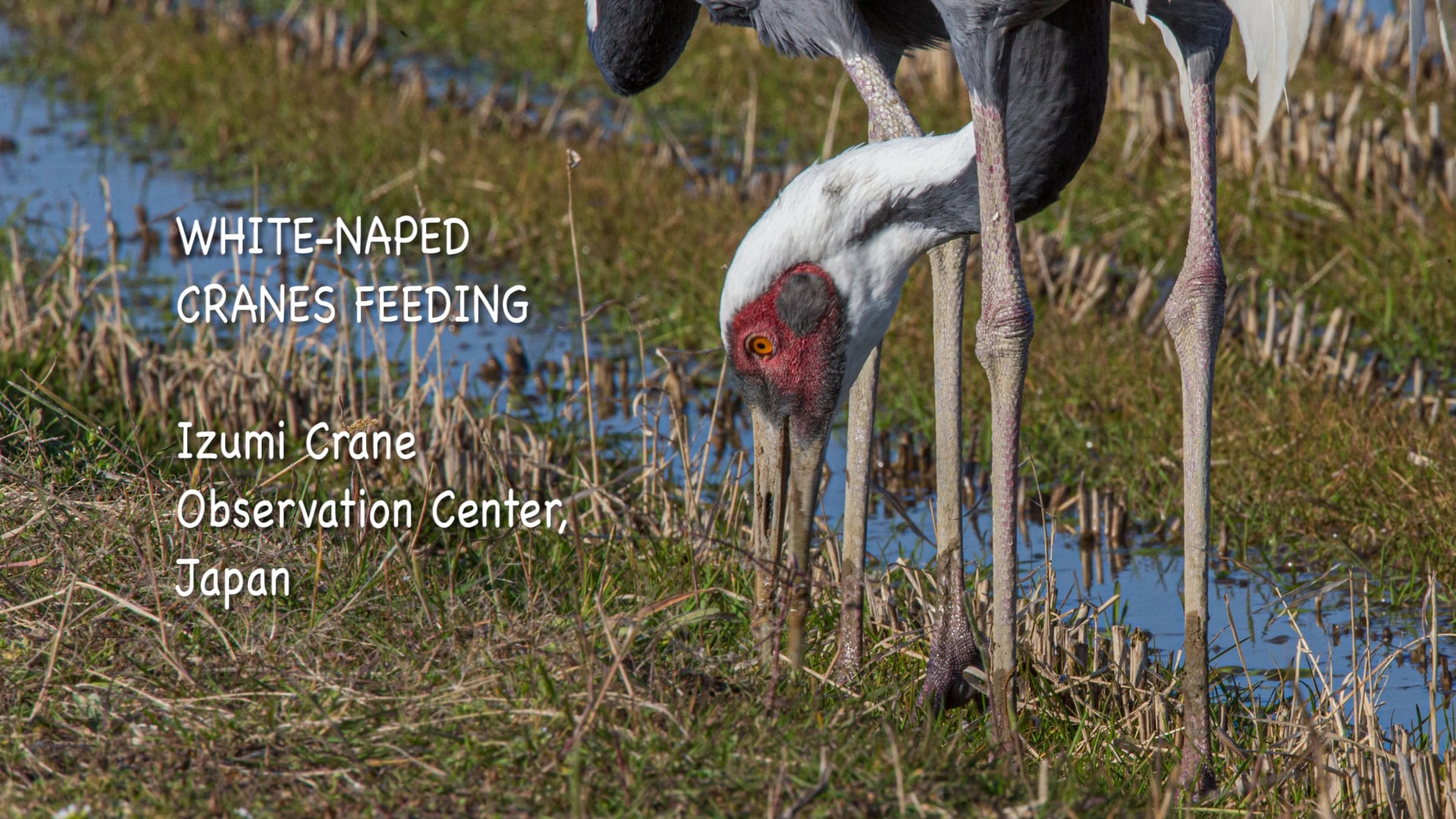 Izumi Cranes Feeding