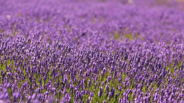Jardin Du Soleil Lavender Farm, Sequim, Washington State