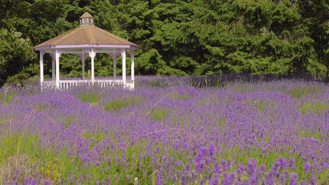 Martha Lane Lavender Farm, Sequim, Washington State