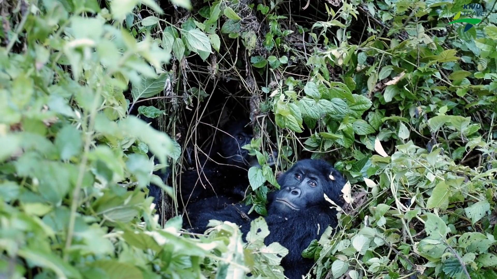Kahuzi Biega National Park I Kivu Travel