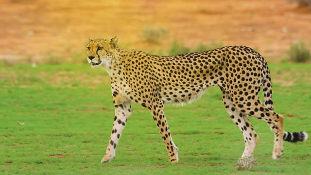 Wildlife of Kgalagadi Transfrontier Park, South Africa - Part #2