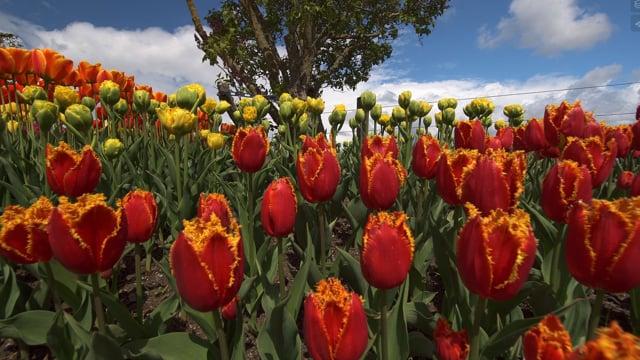 Skagit Valley Tulip Festival, WA- Short Preview