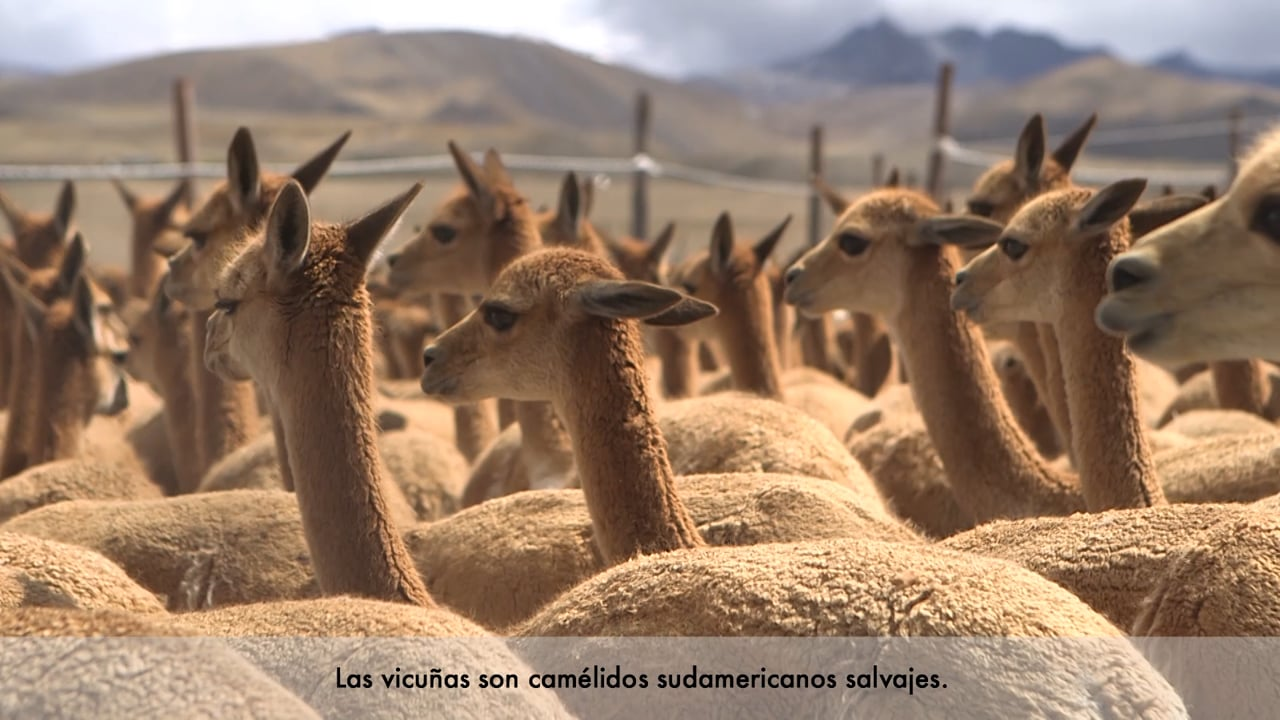 Los cuidadores del oro de los Andes - Tejiendo la solidaridad