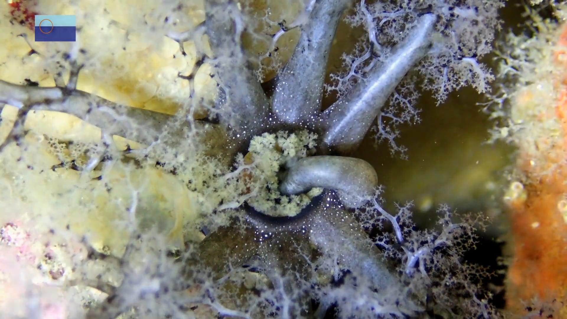 Pepinos con tentáculos, a manos llenas