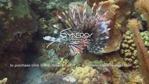 2138 lion fish predator invasive species