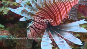 2139 invasive species lionfish hunting for food