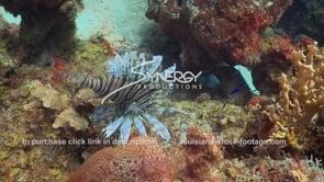 2140 poisonous lionfish invasive species