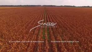 2189 aerial view rows in large corn field