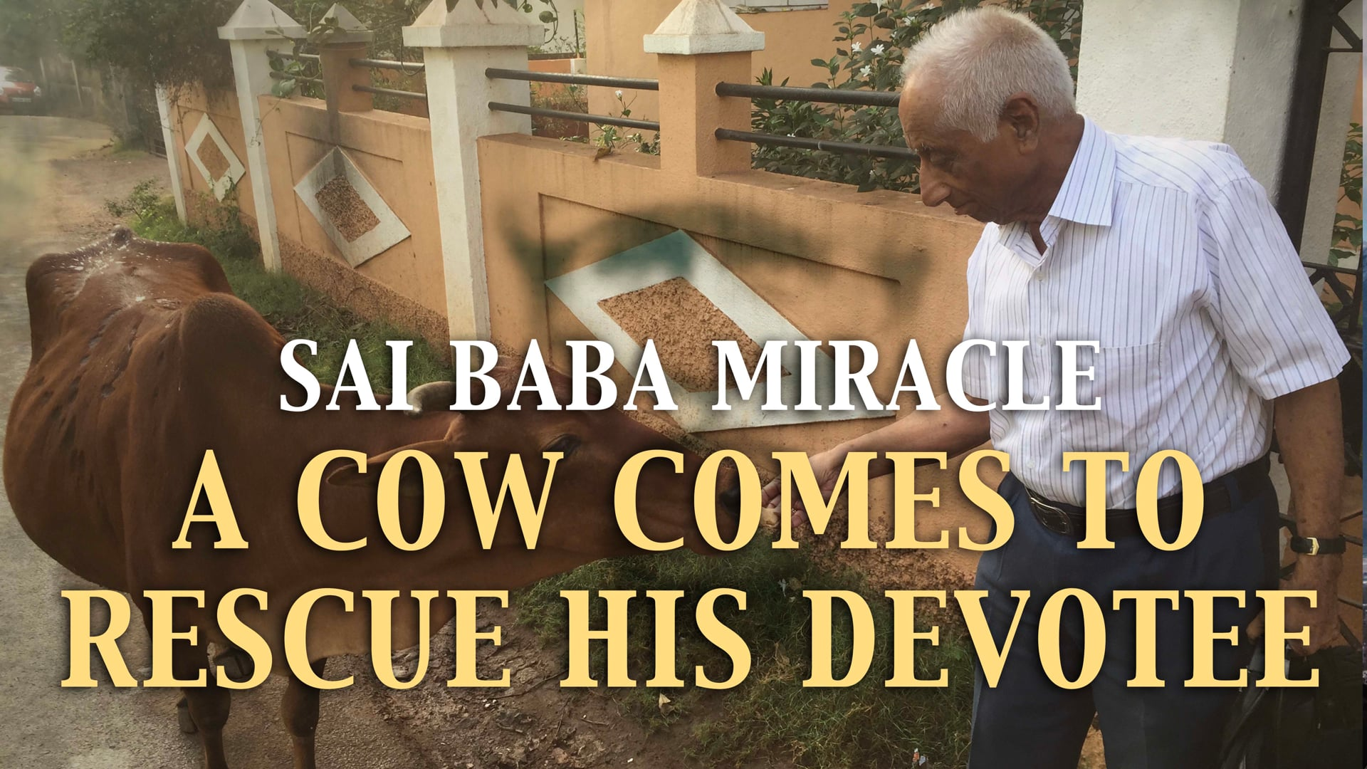 A cow comes to rescue His devotee
