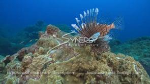 2253 invasive lionfish hunts small fish
