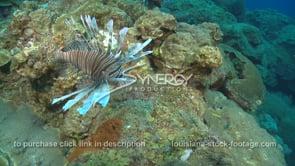 2254 invasive lionfish hunts food