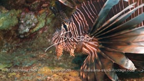 2259 invasive species lionfish close up