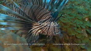 2261 lionfish close up static to camera
