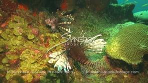 2263 invasive species lionfish on coral reef
