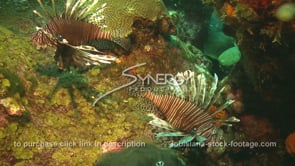 2264 invasive species lionfish on coral