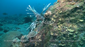 2266 large lionfish in Gulf of Mexico