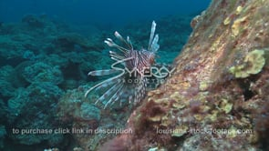 2267 large lionfish on Gulf of Mexico coral reef
