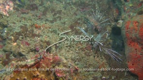 2265 invasive species two lionfish on coral reef