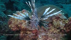 2269 lionfish invasive species