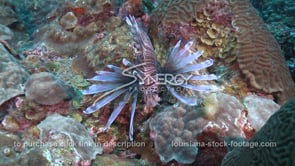 2270 lionfish searches crevasses on coral reef
