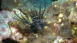 2271 invasive species lionfish almost catches fish on coral reef