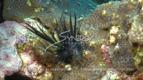 2272 lionfish almost catches fish slow motion