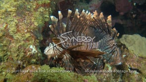 2274 two lionfish on flower gardens coral reef
