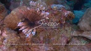 2277 invasive species of lionfish cruising coral reef