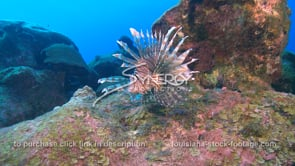 2276 lionfish on colorful coral reef