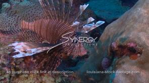 2278 healthy lionfish invasive species