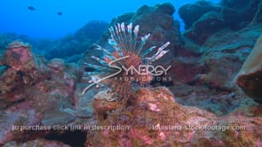 2279 large lionfish on coral reef
