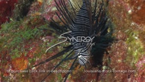2281 invasive species young lionfish on colorful coral